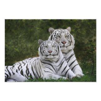 White phase, Bengal Tiger, Tigris Photo Print