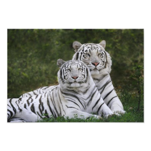 White phase, Bengal Tiger, Tigris Photograph