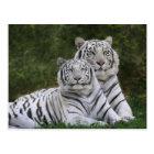White phase, Bengal Tiger, Tigris Postcard