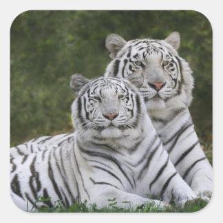 White phase, Bengal Tiger, Tigris Square Stickers