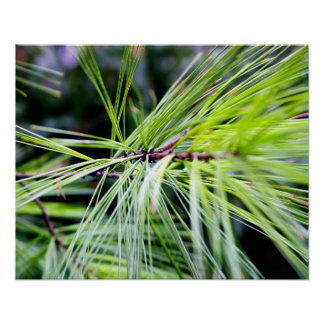 white pine needles poster