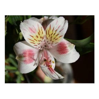 White/Pink Alstroemeria Post Card