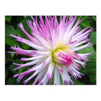 White pink dahlia - Postcard