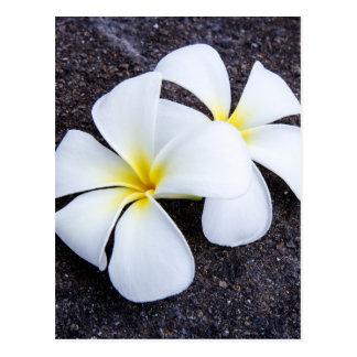 White Plumeria Flower Frangipani Floral Lava Rock Postcard