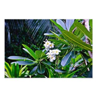 White Plumeria Flowers Photo Art