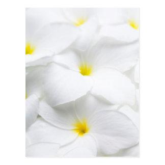 White Plumeria Frangipani Hawaiian Tropical Flower Postcard