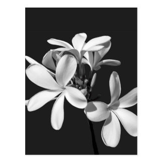 White Plumeria in full bloom Postcard