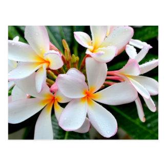 White Plumeria Postcard