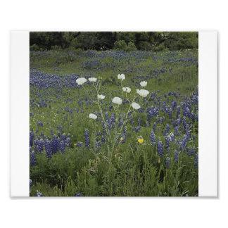 White Prickly Poppys Photo