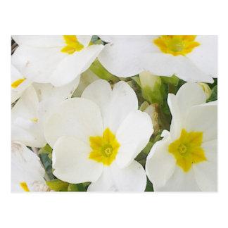 White Primroses Postcard