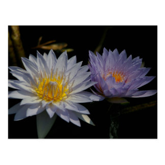 White & Purple Lotus Waterlilies Postcard