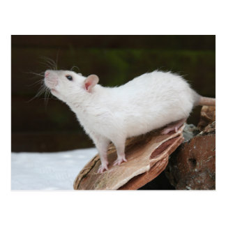 white rat on rock postcard