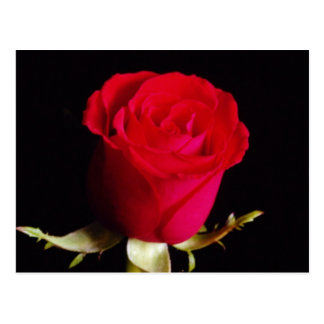 White Red sweetheart rose flowers Postcard