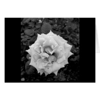 White rose after rain card