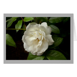 White rose and green leaves in spring time garden card