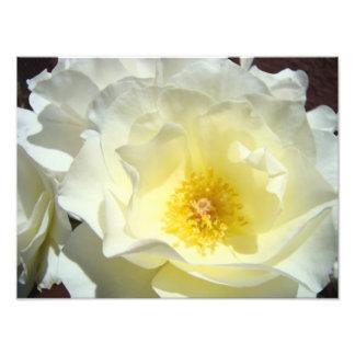 White Rose Flower Photography art prints Roses Photo