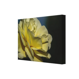 White Rose In Bloom Canvas