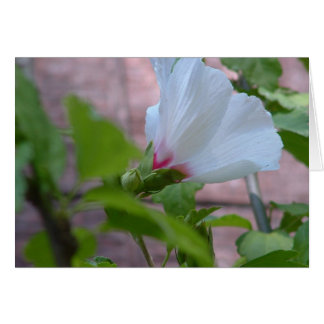 White Rose of Sharon Card