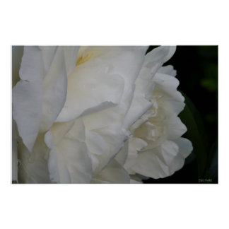 White rose, photograph poster