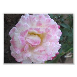 White Rose with Pink Edges Photograph