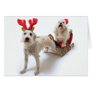white schnoodle standing with red christmas card