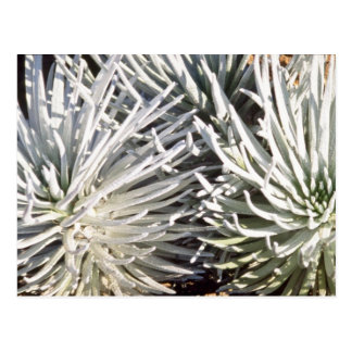 white Silversword flower, Hawaii flowers Postcard