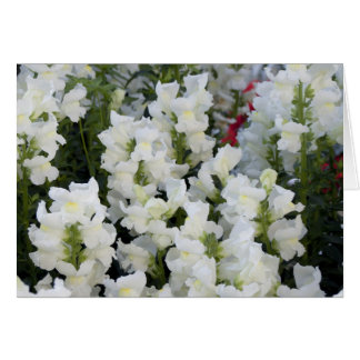White Snapdragons Card
