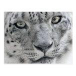 White Snow Leopard Nature Photograph Postcards