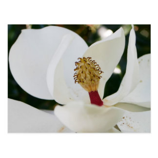 White southern magnolia flower blossom up close postcard