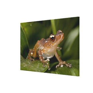 White Spotted Frog, Nytixalus pictus, Native Canvas Print