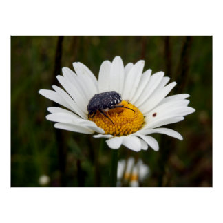 White-spotted Rose Beetle Poster