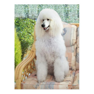 White Standard Poodle Postcard
