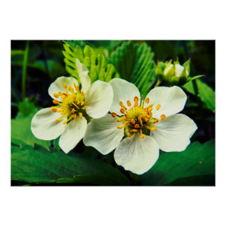 White Strawberry Flowers Close-Up Poster
