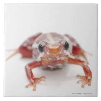 white-striped poison dart frog (epipedobates tile