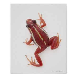 White-striped Poison Dart Frog Poster