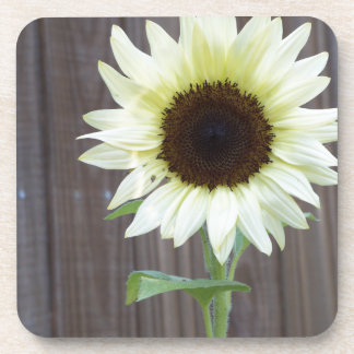 White sunflower against a weathered fence coaster