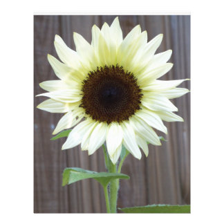 White sunflower against a weathered fence letterhead
