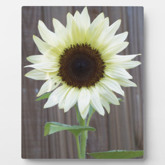 White sunflower against a weathered fence plaque