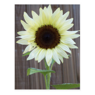 White sunflower against a weathered fence postcard