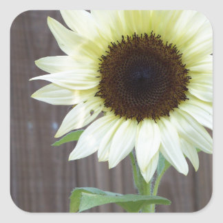 White sunflower against a weathered fence square sticker