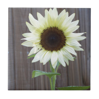 White sunflower against a weathered fence tile