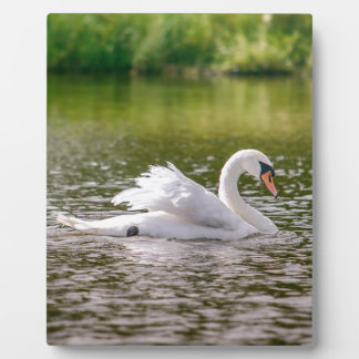 White swan on a lake plaque