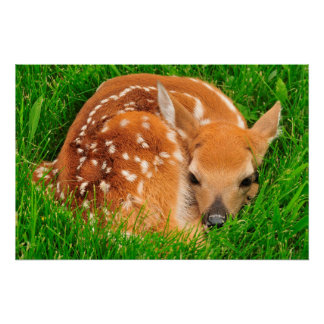 White Tail Baby Deer Poster