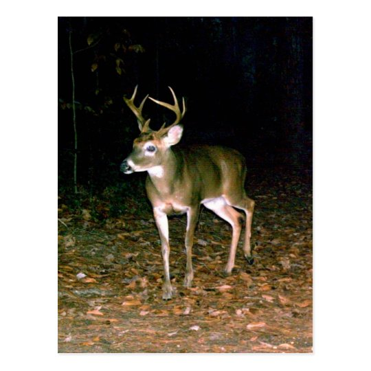 White-tailed Buck Deer Postcard