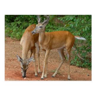 White Tailed Buck Deer Postcard