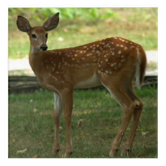 White-tailed Deer, Acrylic Print. Acrylic Print