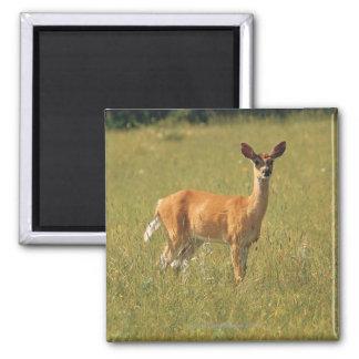 White tailed deer in Glacier National Park , Magnet