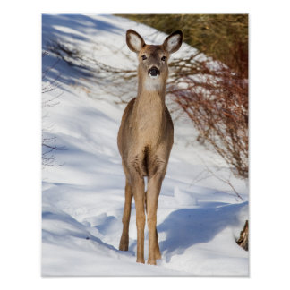 White-tailed Deer Looking At You (Close Up) Poster