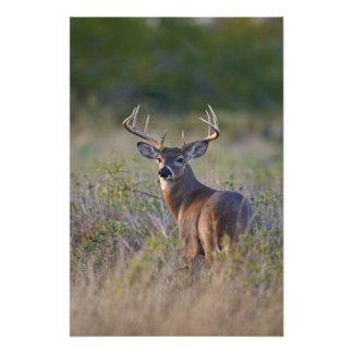 white-tailed deer Odocoileus virginianus) 2 Photo Print