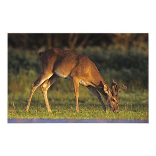 White-tailed Deer, Odocoileus virginianus, 5 Photographic Print
